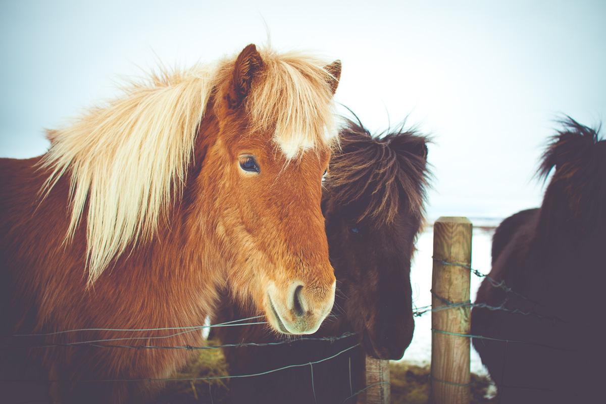 Island-Pferde