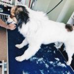 Yaska beim Hundefrisör